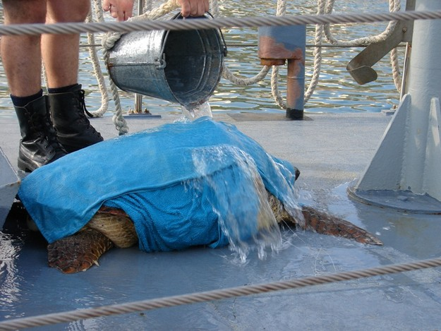 Gozo's AFM Patrol Vessel rescues two Loggerhead turtles