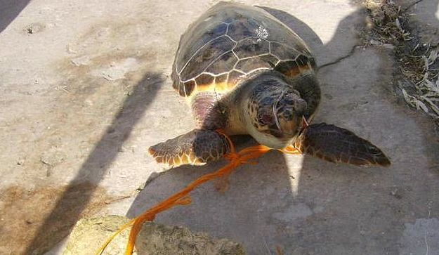 AFM recover dead turtle from Mgarr Harbour in Gozo
