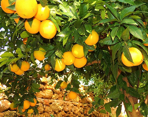 Citrus & Harvest Festival at Villa Francia next Sunday