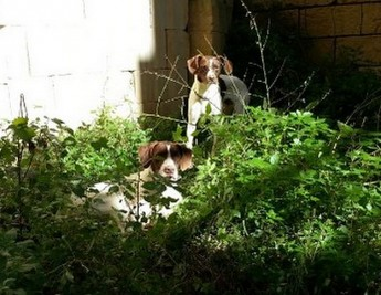 Gozo SPCA needs urgent help with home for 2 male pointers