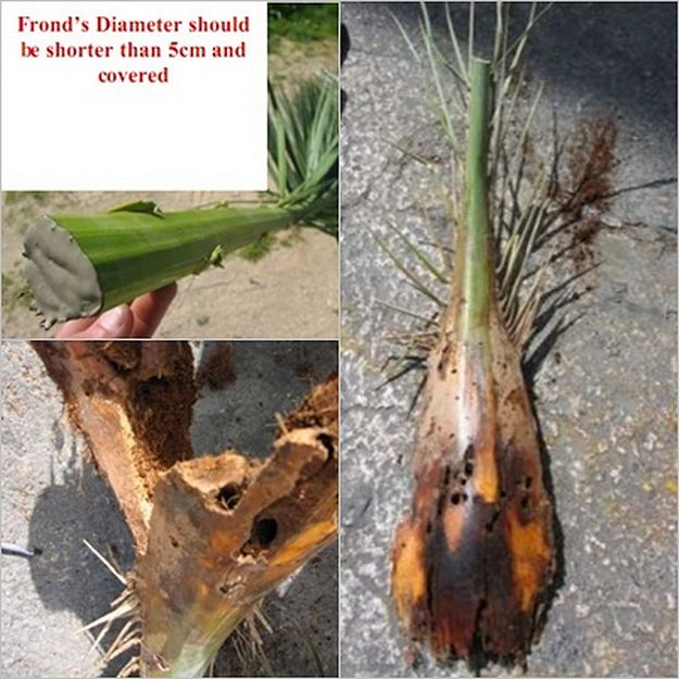 Guidelines issued for the use of palm fronds on Palm Sunday