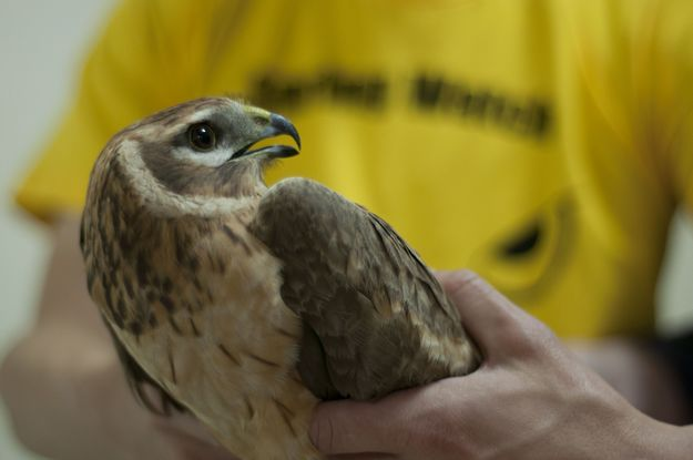 Juvenile Palid Harrier found with shotgun wounds in Gozo