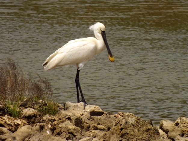 Rare Spoonbill seen at Ghadira Nature Reserve in Malta