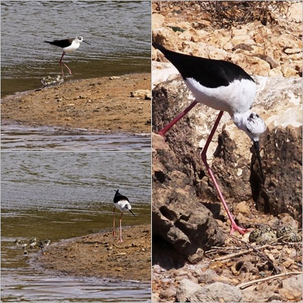 Black-winged Stilt chicks hatch at Ghadira Nature Reserve