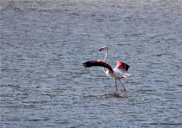 FKNK alerts the Police over flamingo sightings in Malta
