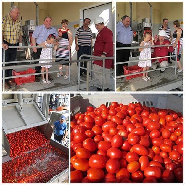 Summer's tomato season in Gozo is underway at Magro
