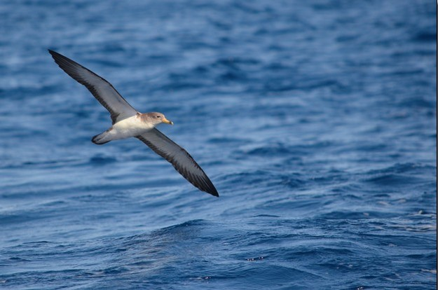 LIFE project records Malta's oldest Scopoli's Shearwater