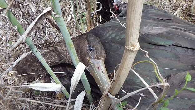 Black Stork shot down today in San Blas Valley, Gozo - CABS