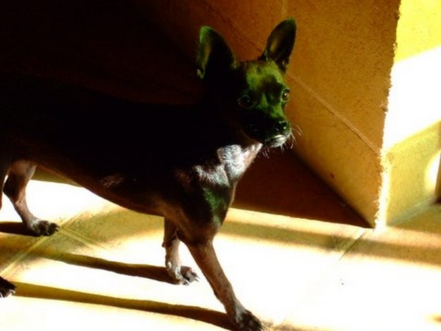 The Gozo SPCA appeals for help to trace owner of young female Chihuahua