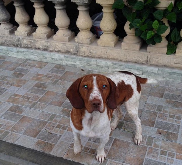 Gozo SPCA appeals for help to trace owner of this dog in Kercem