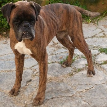 Gozo SPCA appeals for help to trace owner of this Boxer dog