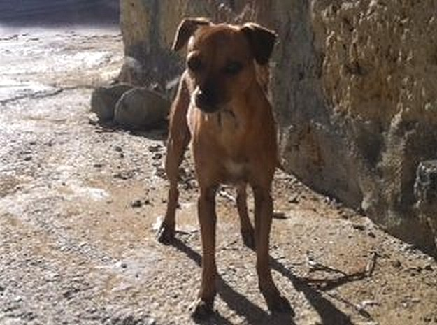 Gozo SPCA appeal for help in tracing the owner of 'Princess'