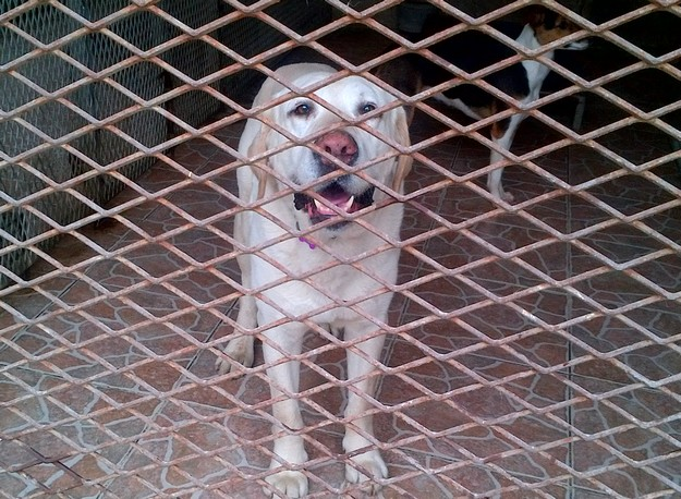 Gozo SPCA appeals for help in tracing the owner of this Labrador