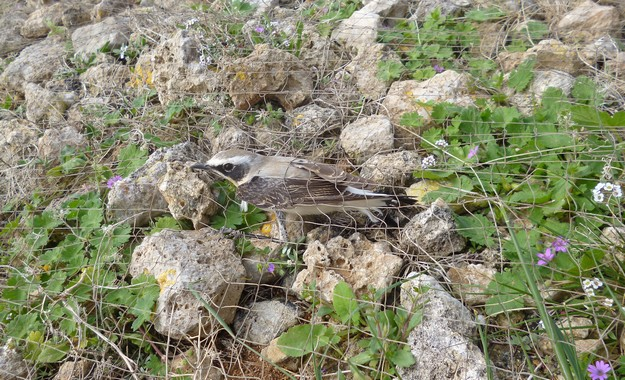 BLM welcomes increased penalties for illegal shooting & trapping