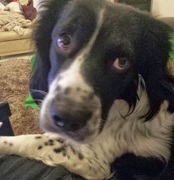 Please help find missing Springer Spaniel, lost on Sunday afternoon