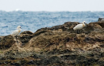 Spoonbills shot as stormy weather pushes migrating flocks over Malta
