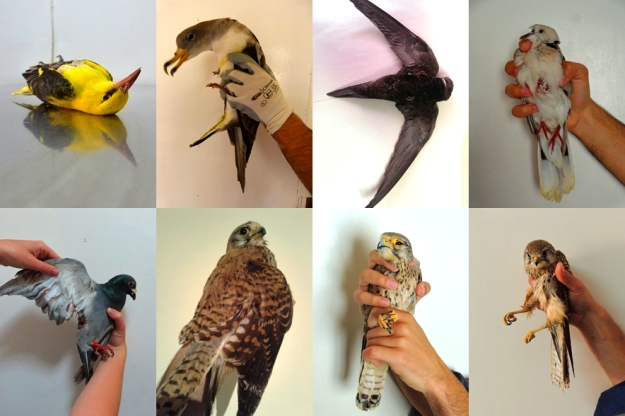 Casualties of spring hunting - Details released by BirdLife Malta
