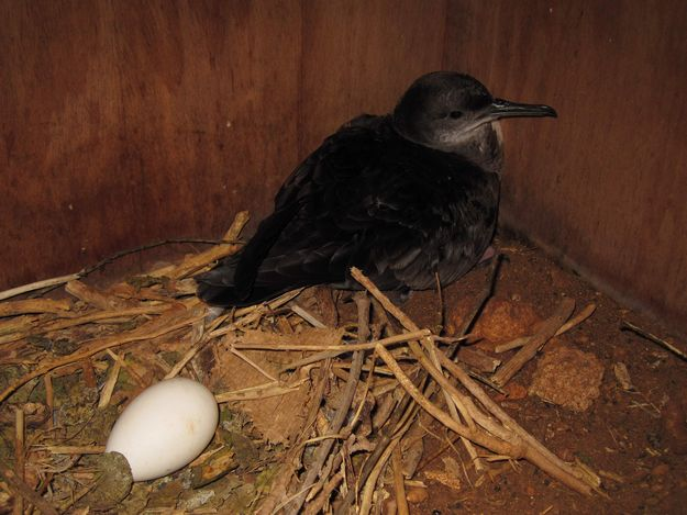 Brand new behaviour recorded on shearwater nest-camera