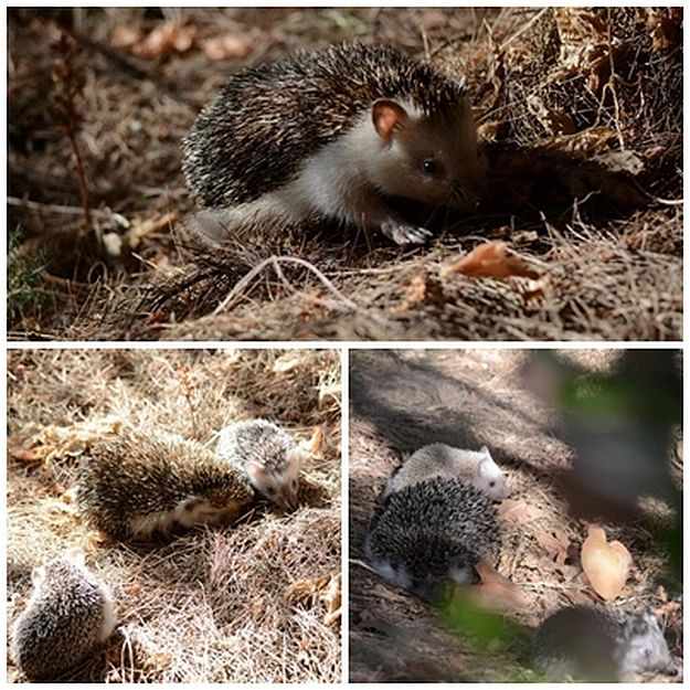Mother's Day release for rescued hedgehog Mothers and their babies