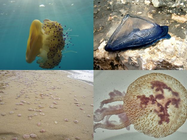Our changing Marine Biodiversity: Jellyfish blooms proliferation & mitigation