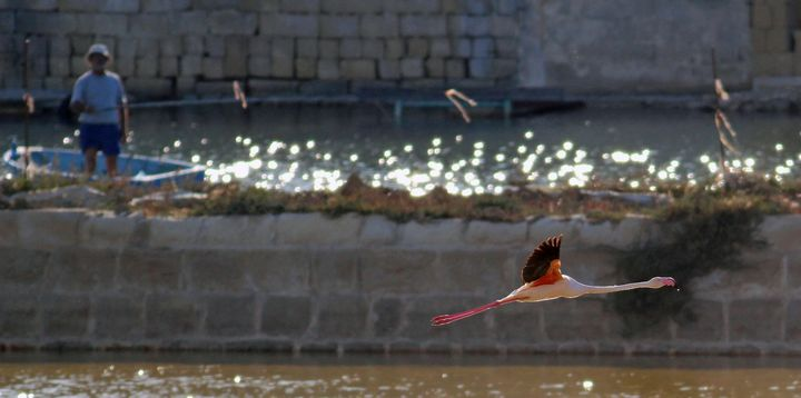 Greater Flamingo settles in for an extended stay at Salina