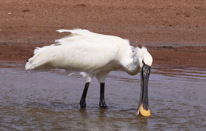 As a flamingo leaves Salina, a Spoonbill arrives at Ghadira