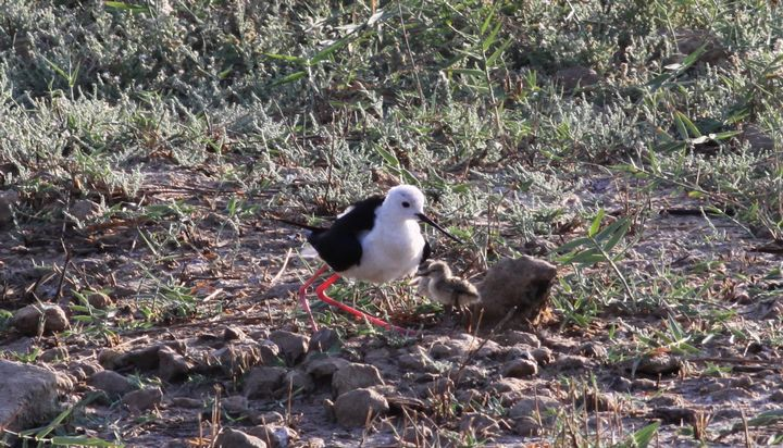 First ever Black-winged Stilt chicks hatch at Is-Simar nature reserve