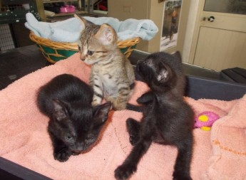 Kittens George, Greg & Geoff waiting for their own forever homes