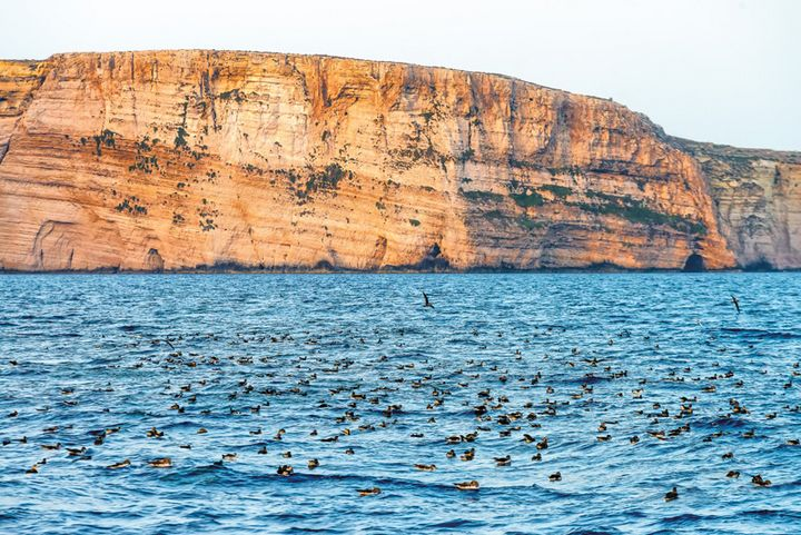 Enjoy a close encounter with shearwaters on boat trip to Ta' Cenc cliffs
