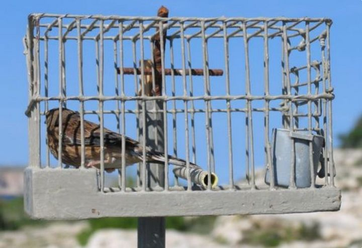 Finches being trapped in the UK to sell to Maltese buyers