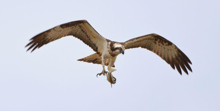 """CABS operation """"Fatal flight"""" begins Friday - Trapper caught near Buskett"""