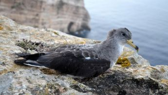 High number of Scopoli's Shearwaters stranded: Appeal for less light pollution