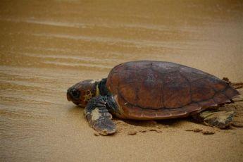 Two loggerhead turtles - Katusu and Edel released following rehabilitation