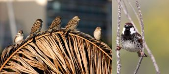 BirdLife Malta & Inspire Foundation community project: Spotted a sparrow? Let us know!