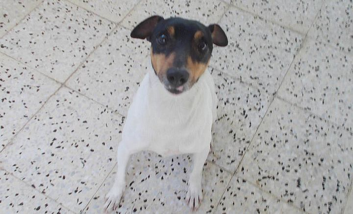 Gozo SPCA need a loving, forever home for Bertie the Fox Terrier