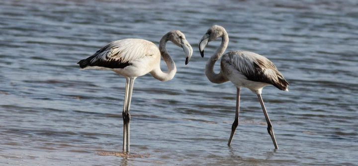 Flamingo sightings by KSU members off Gozo coast and at Qawra