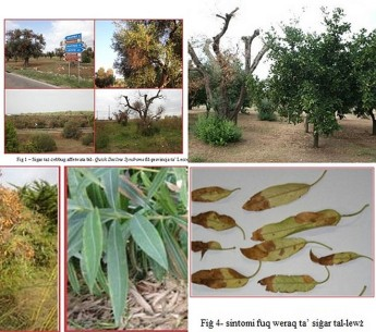 Plant Health Directorate information on 'Olive Quick Decline Syndrome'