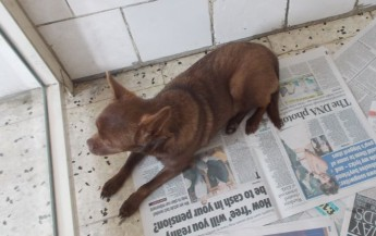 Gozo SPCA need a loving home for Brownie, a young male Chihuahua