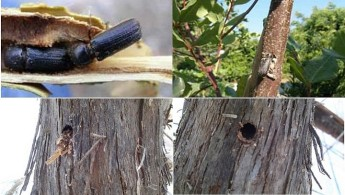 Insect pest found on Carob trees & grapevines reported in Fontana