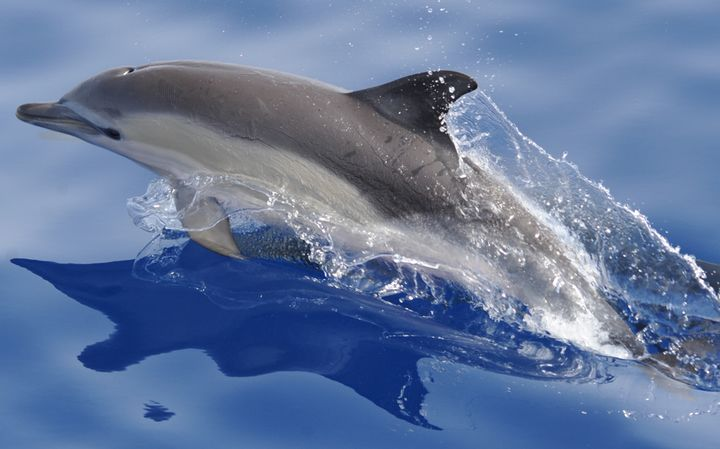 Safeguarding Dolphins and Whales at Mediterranean level