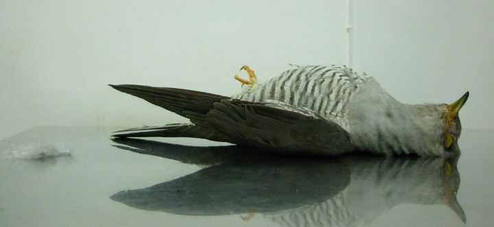 Shot cuckoo discovered by dog walker in Mizieb Woodland - BLM