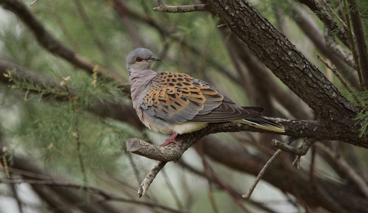 Spring hunting should be abolished once and for all, says BirdLife