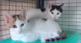 Rebel and Rover, 2 little kittens waiting for loving homes at Gozo SPCA