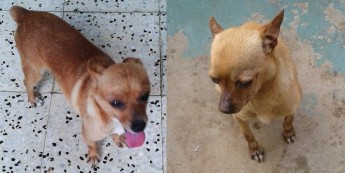 Bruce & Cal, 2 little Chihuahuas needing their own forever homes
