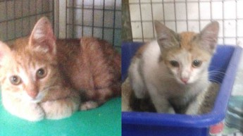 Ginger &  Ferry, 2 of the kittens at Gozo SPCA in need of loving homes