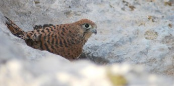 Family of common kestrels breed in Gozo, chicks first to hatch in 4 years