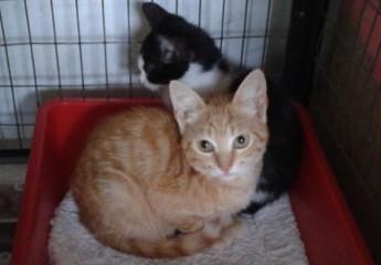 Gozo SPCA kittens Ginger and Ossie, waiting for loving homes