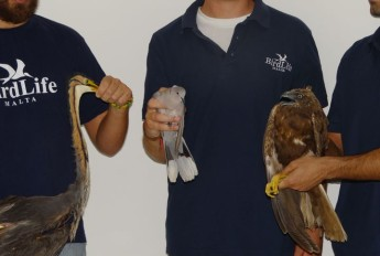 3 shot protected birds received in 1 day, including heron in Gozo - BLM