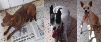 Brownie, Gypsy & Bengy are waiting at Gozo SPCA for loving homes