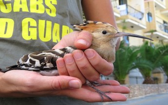 A Protected Hoopoe found shot in Malta - CABS